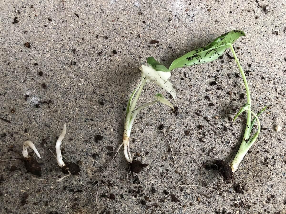20200913-芋からできた斑入りクワズイモの子株写真