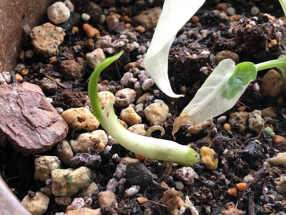 20200922-成長中の芋からでた斑入りクワズイモ写真1