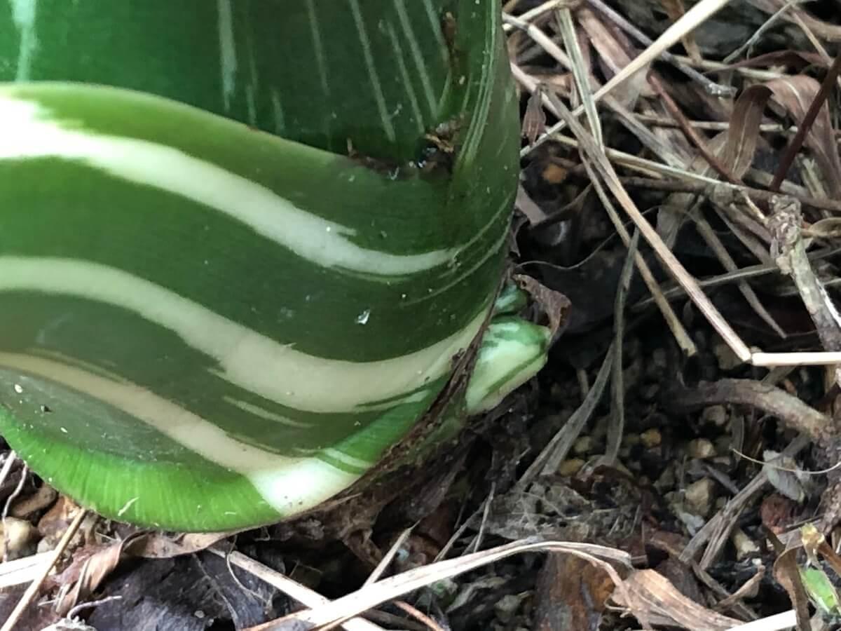 20201108-斑入りクワズイモの根元に出た芽の写真2