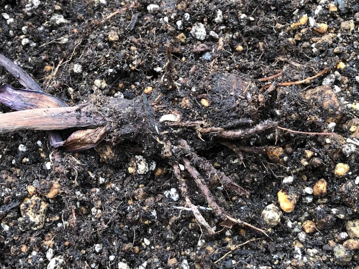 コロカシア『モヒート』の植え付け写真2