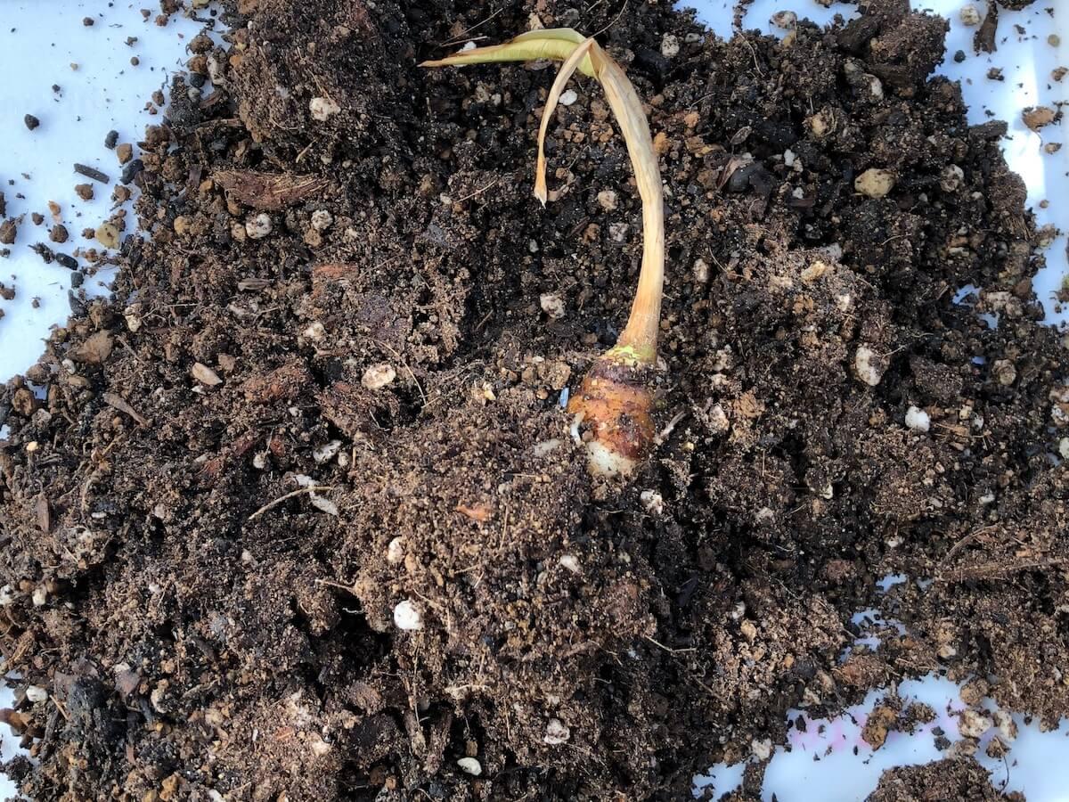 冬のグリーンベルベット芋写真