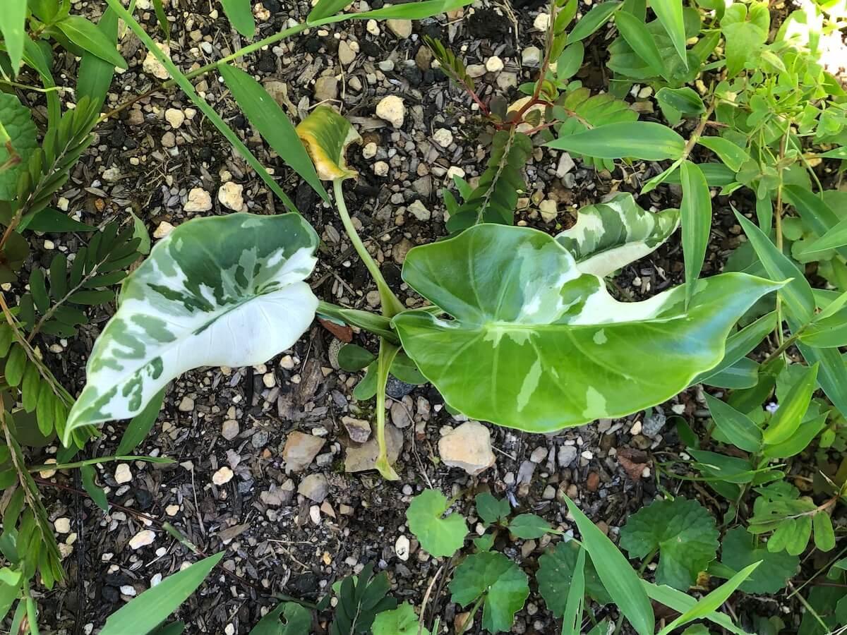 夏場で斑が減ってきた斑入りクワズイモの写真