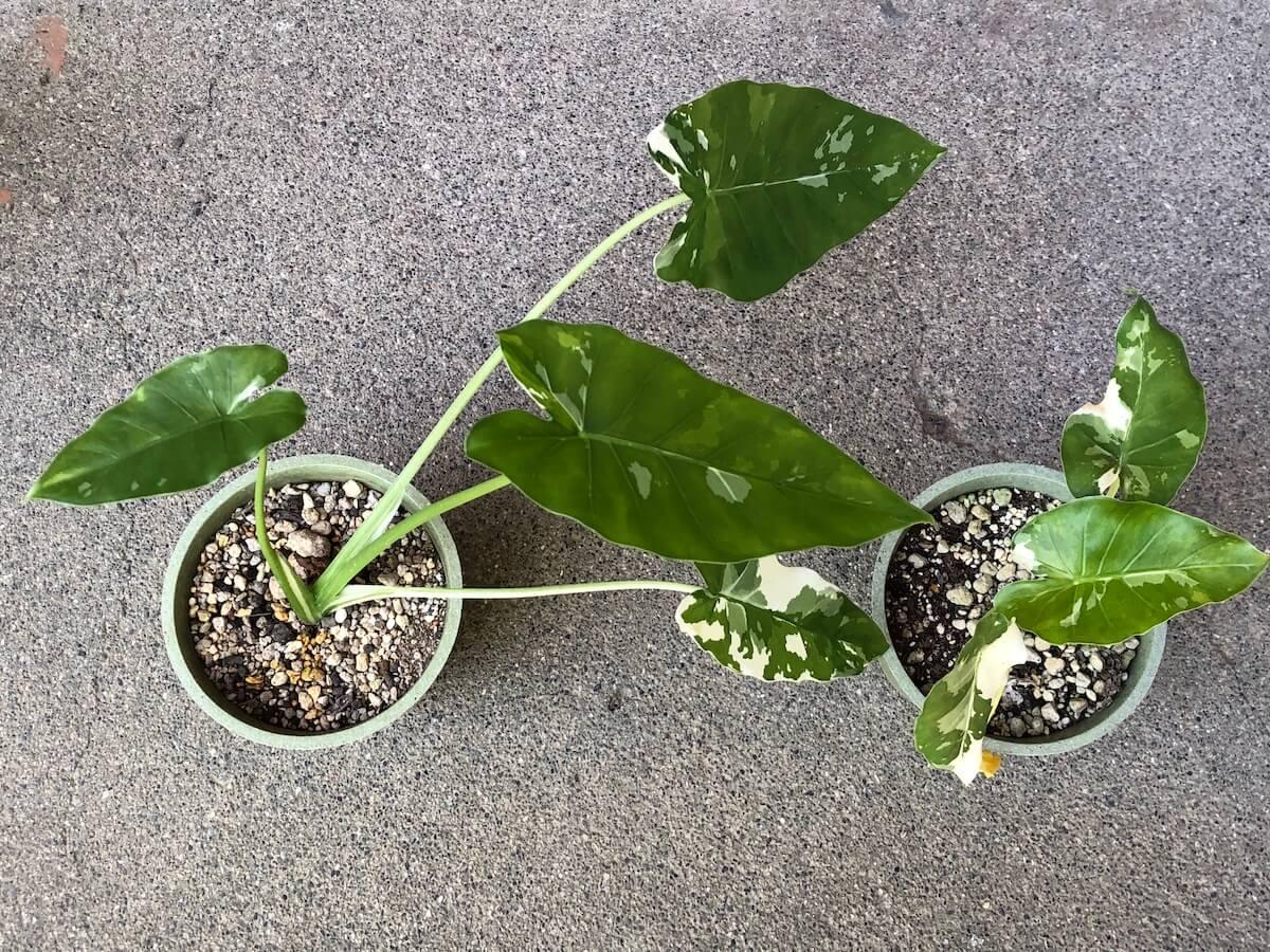 夏場で斑が減ってきた斑入りクワズイモの写真3