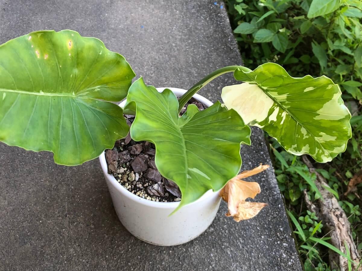 夏場で斑が減ってきた斑入りクワズイモの写真4