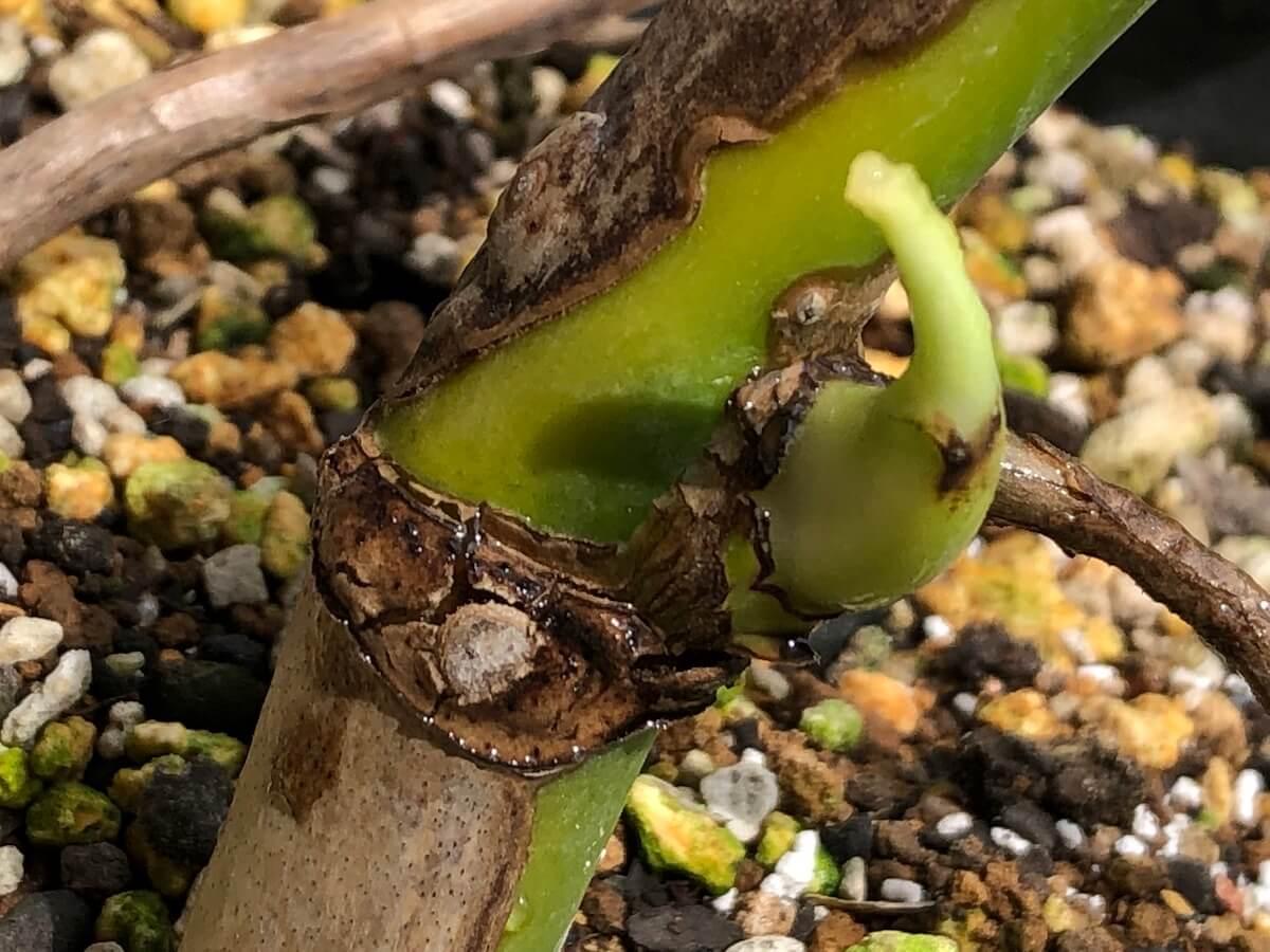 芽が出てきた元株の斑入りモンステラ写真2