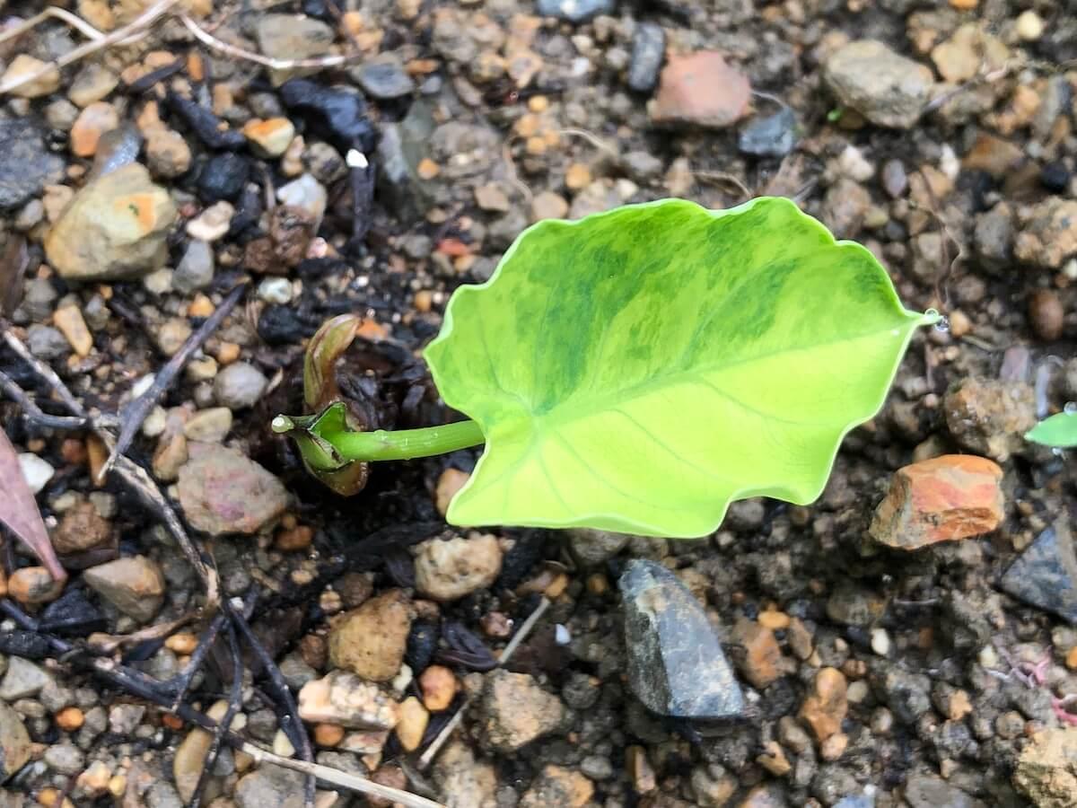 地植えして再生した斑入りサトイモ2