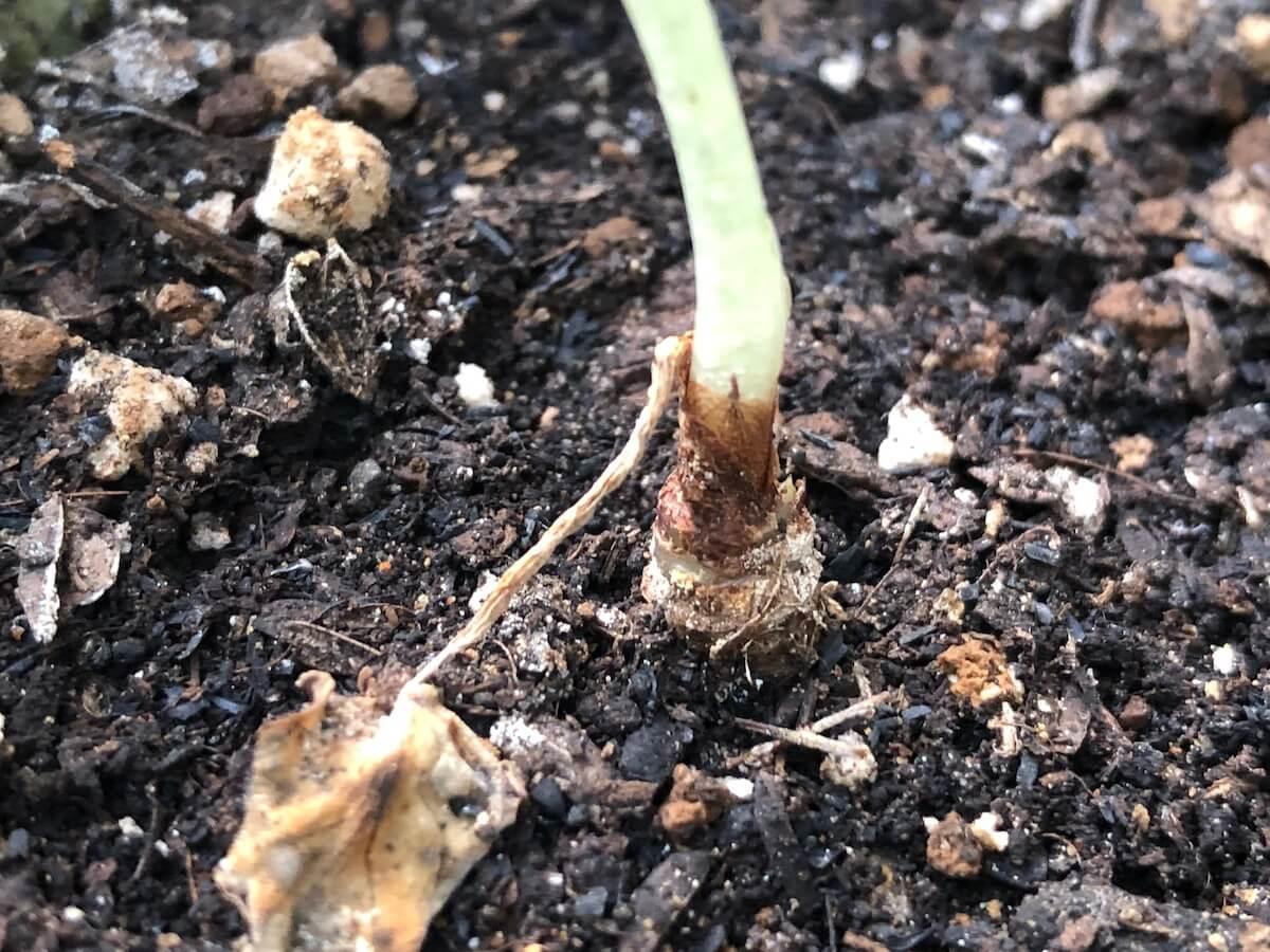 成長が遅いブラックベルベットの写真2
