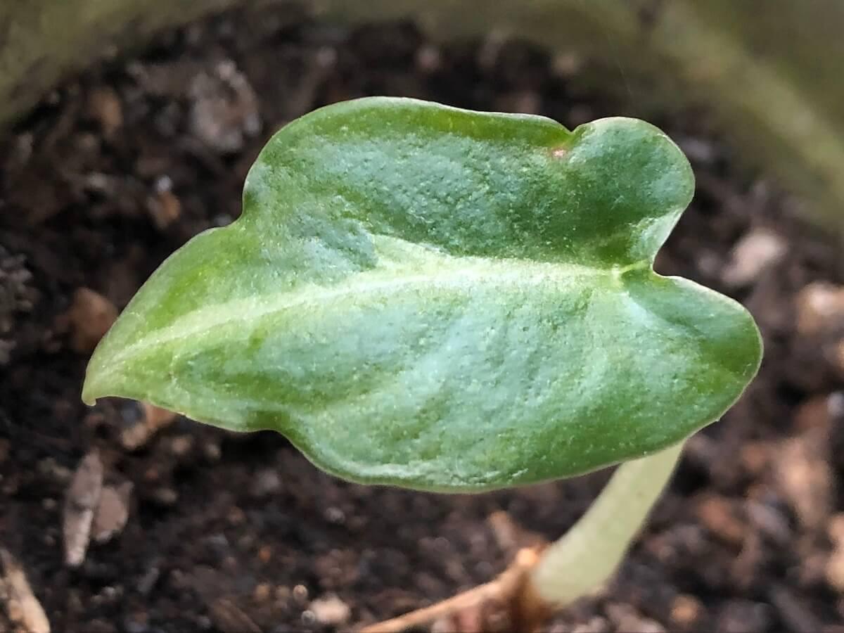 成長が遅いブラックベルベットの写真3