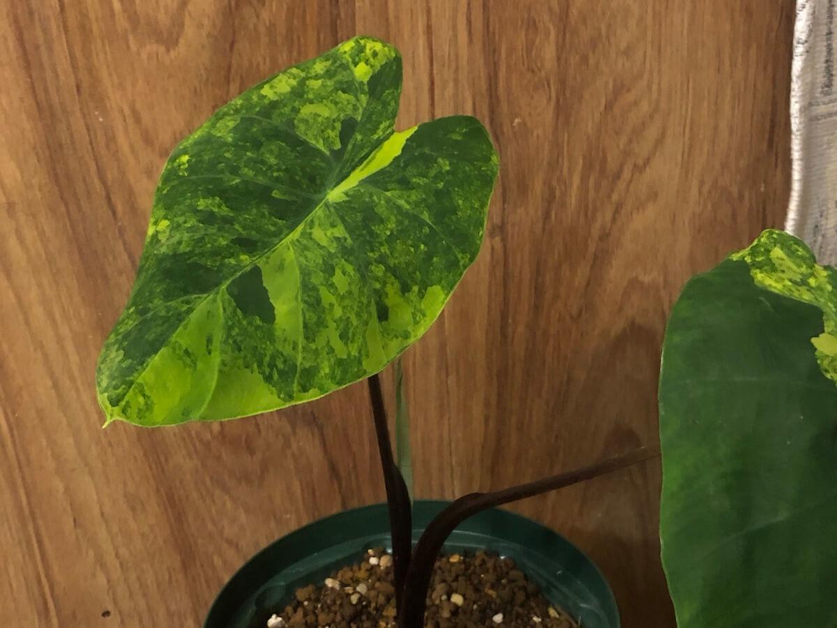 斑入りサトイモの写真2
