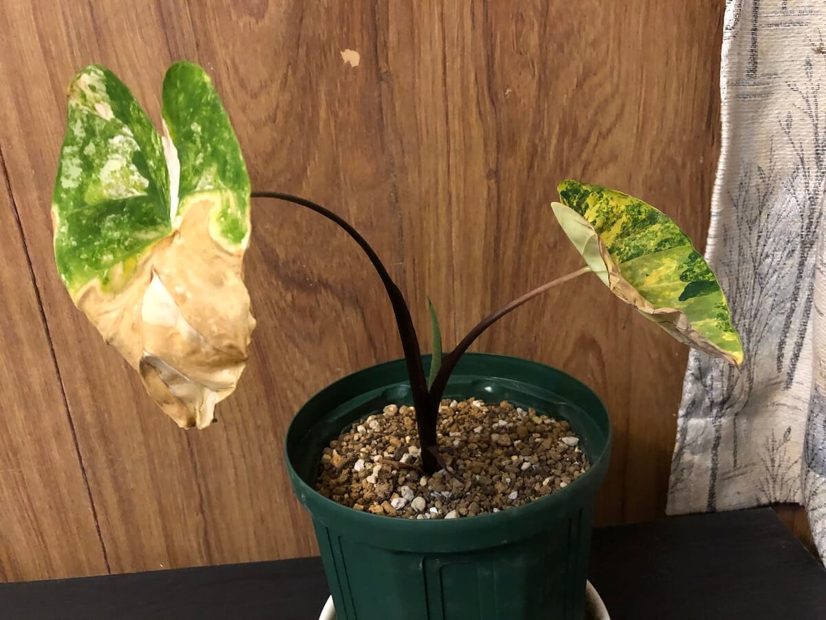 葉焼けした斑入りサトイモの写真