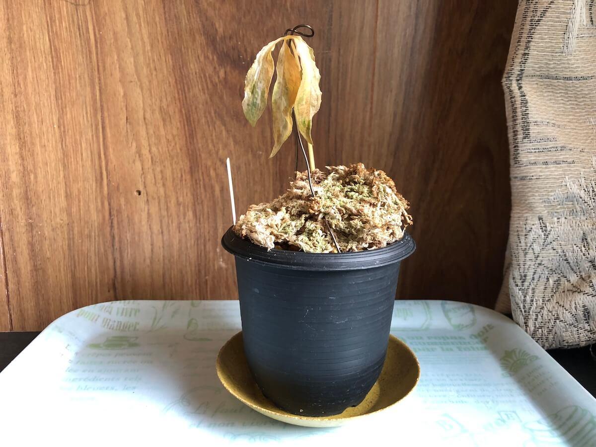 三光斑のヒメウラシマソウ写真4