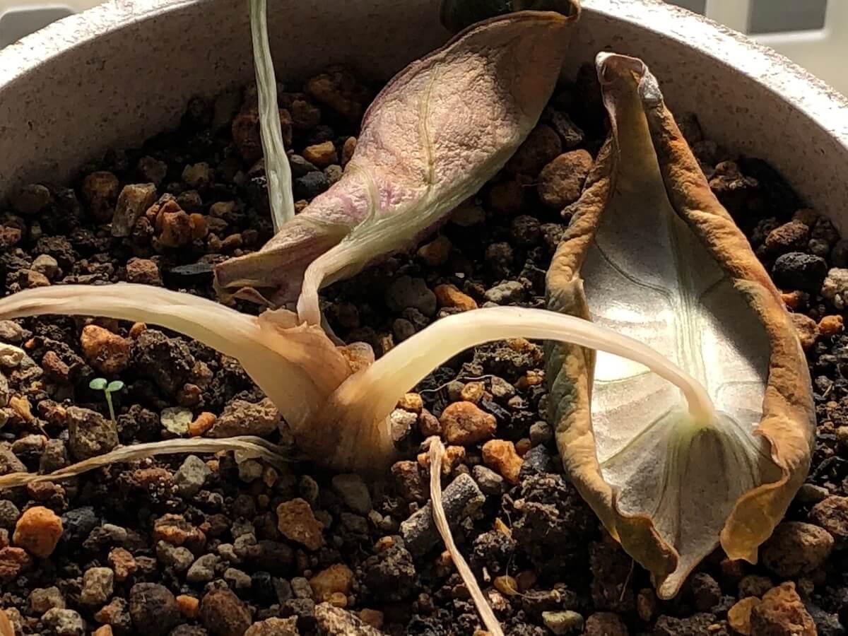 枯れかけた斑入りブラックベルベットの写真2