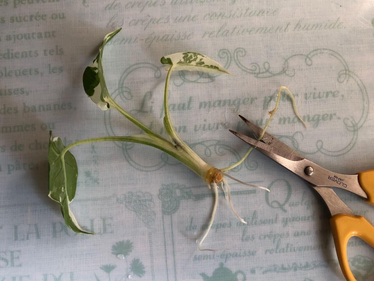 水耕栽培前の斑入りクワズイモの根調整写真