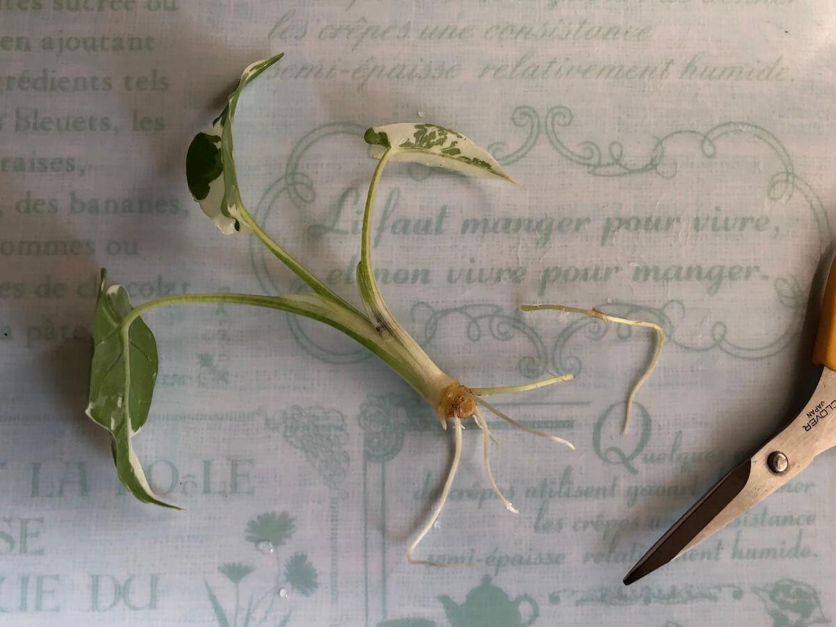 水耕栽培前の斑入りクワズイモの根調整写真2