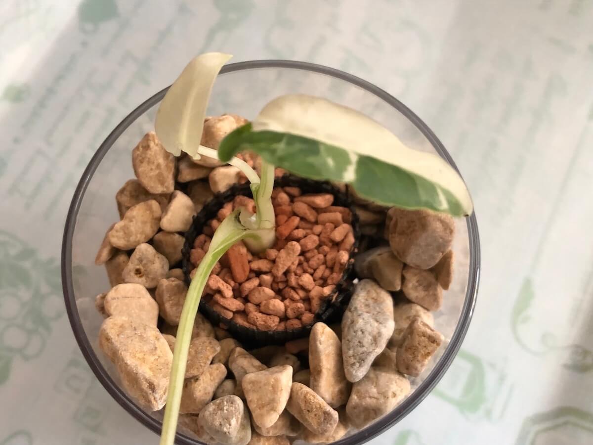 セラミスで斑入りクワズイモを植え込んだ写真