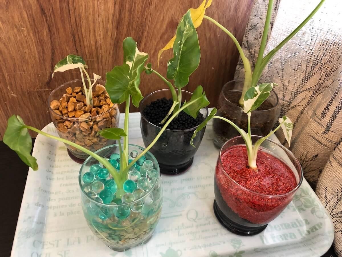斑入りクワズイモの水耕栽培集合写真3