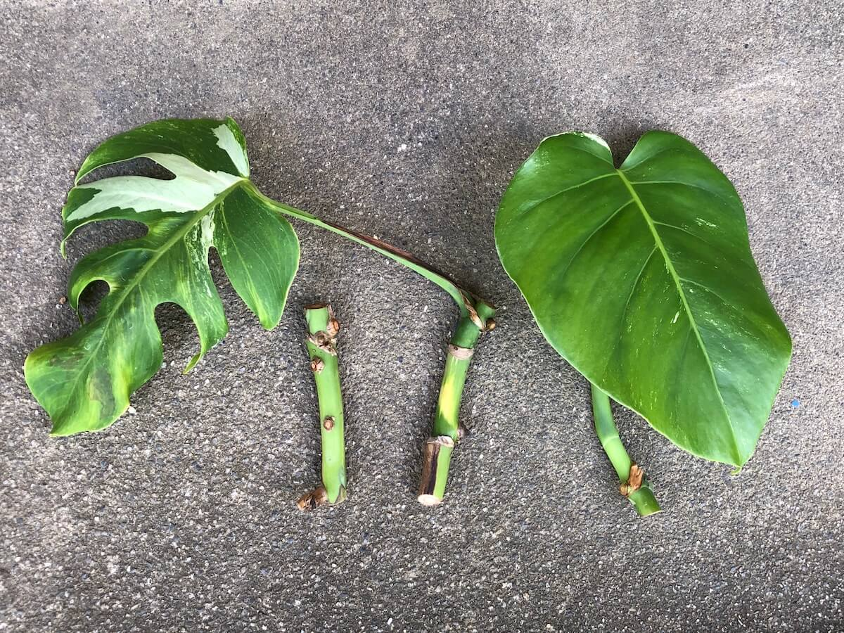 モンステラ『ボルシギアナ』を増殖用に穂木にした写真