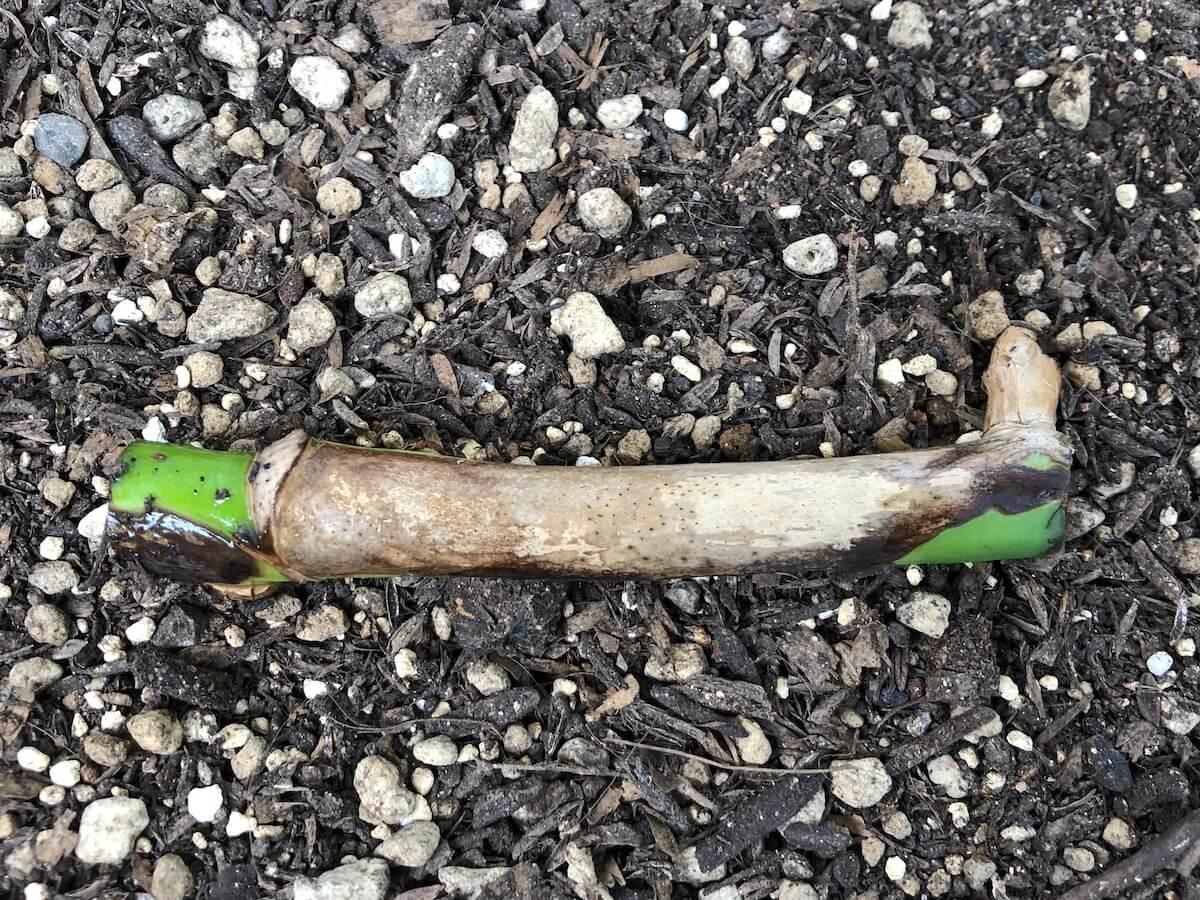 モンステラ『ボルシギアナ』を茎伏せにした写真