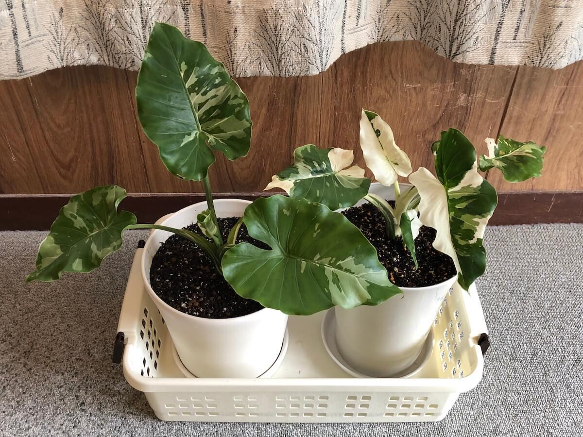 斑入りクワズイモの栽培にはどんな鉢がおすすめ? 基本的にプラ鉢で十分だよ。