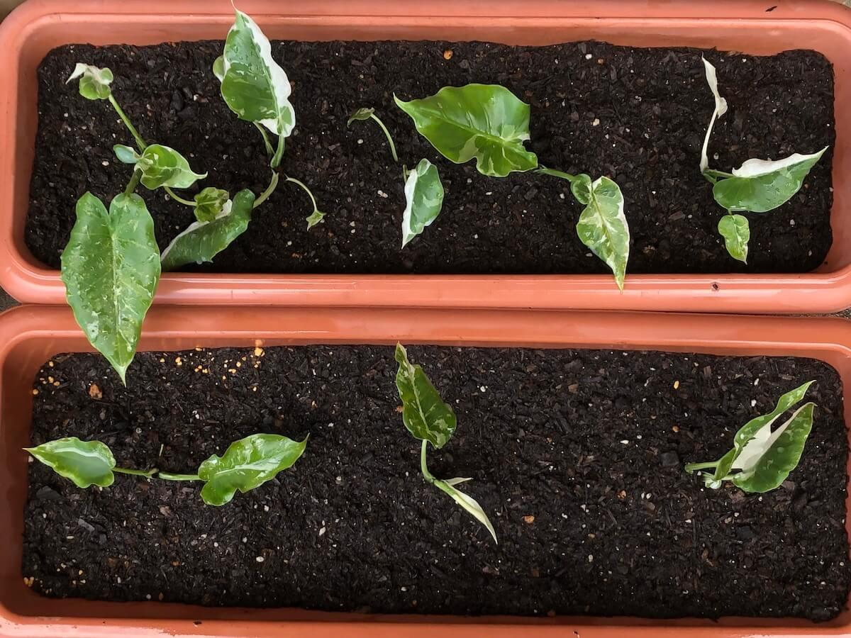 多めの培養土に植えた斑入りクワズイモの小苗写真