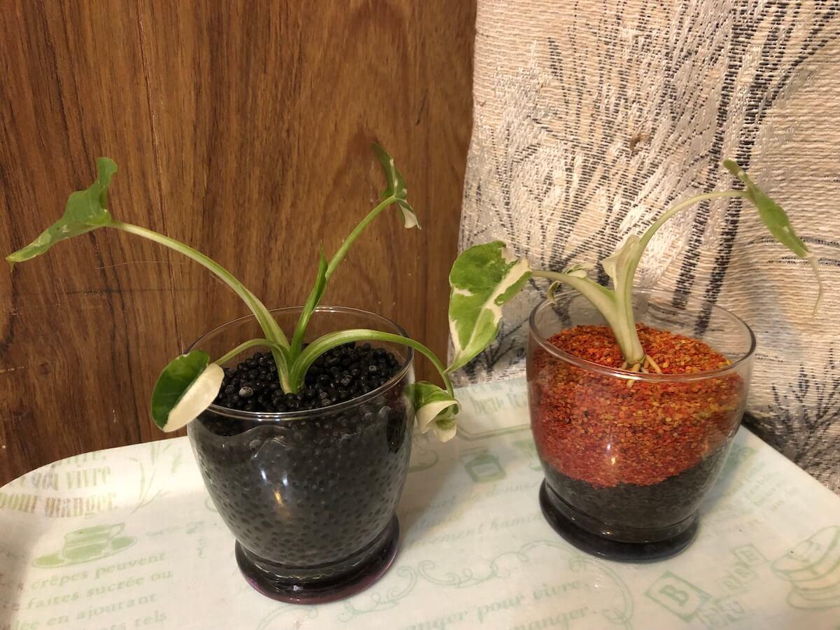 水耕栽培でうまく育った斑入りクワズイモの写真