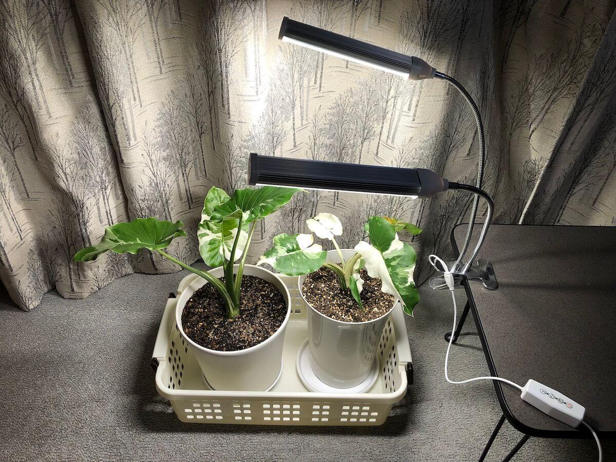 日照不足でクワズイモの葉が伸びすぎて垂れる時は植物育成ライトを使おう。