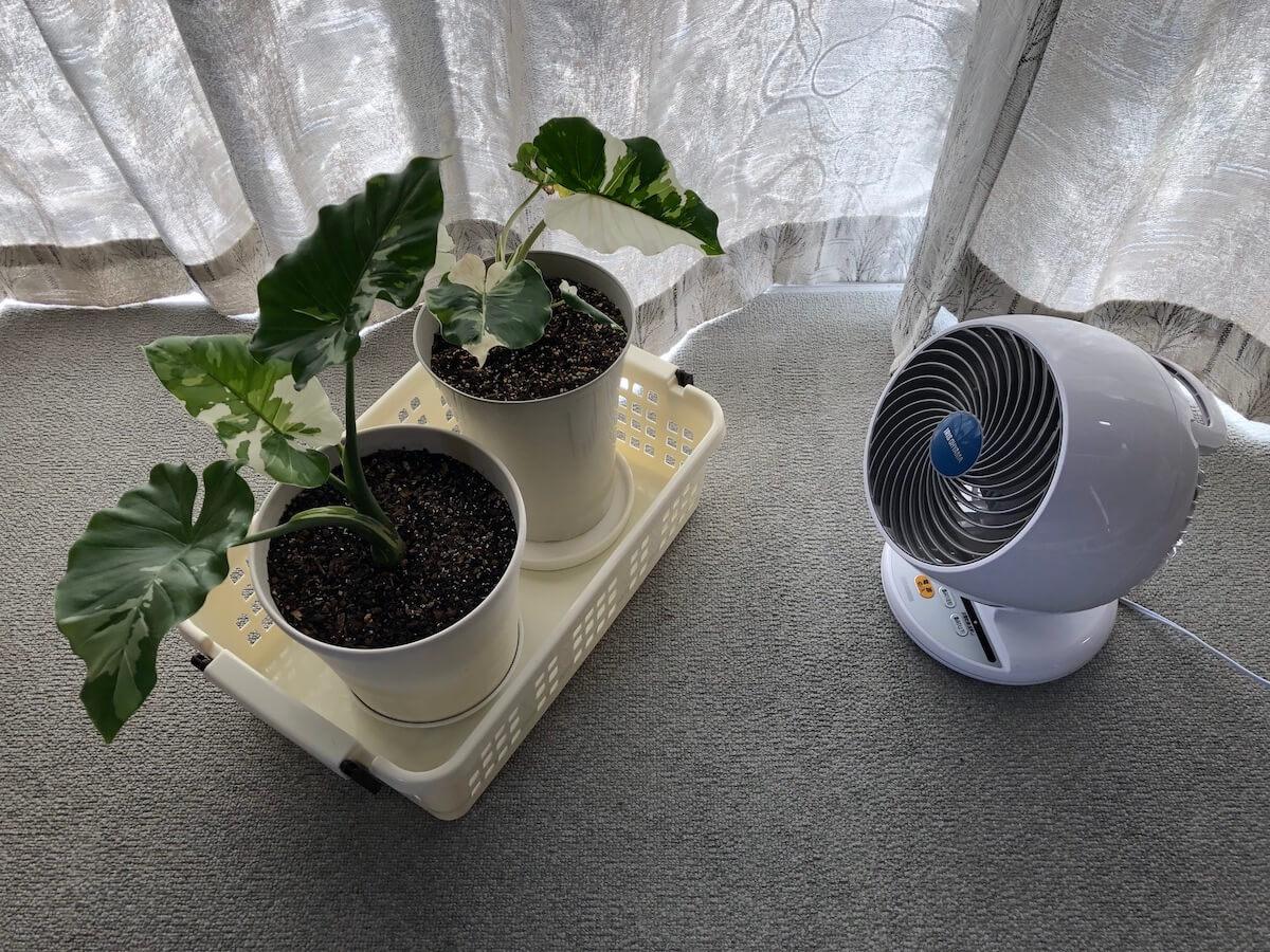 サーキュレーターで斑入りクワズイモの腐りを防ごう。観葉植物は通気性が大事!